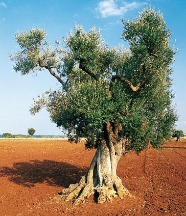 Adotta un albero d ulivo nella valle del belice scelte - Foto di alberi da giardino ...