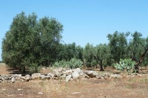 Un oliveto in Puglia