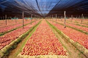 coltivazioni mela annurca