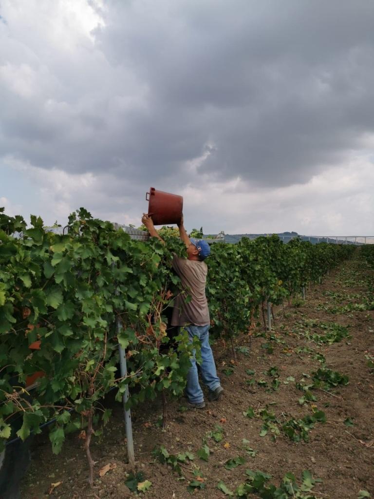 Foto 3 vendemmia Doc Sicilia 2019 vigne Menfi